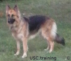 USC.training Working Service Dogs